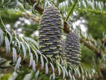 Le plan rapproché des cônes sur les branches du sapin Abies le koreana Silberlocke Un cône est au foyer sur un beau fond de bokeh image stock