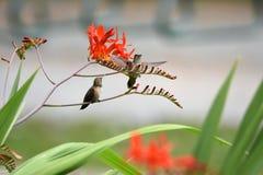 Le plan rapproché des colibris Rufous photos stock