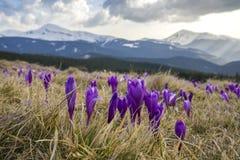 Le plan rapproché des crocus de floraison merveilleux fleurit dans le Carpathia Photos stock