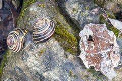 Le plan rapproché des escargots de accouplement sur la mousse moite a couvert la roche et le Br mangé Image libre de droits