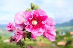 Le plan rapproché des fleurs roses avec la nature a brouillé le fond de Khao Kho Photographie stock