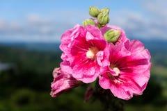 Le plan rapproché des fleurs roses avec la nature a brouillé le fond de Khao Kho Image libre de droits