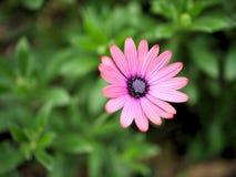 Le plan rapproché des fleurs roses avec le vert part dans le jardin de papillon à Santa Barbara la Californie Macro lentille avec Photo stock