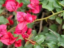 Le plan rapproché des fleurs roses avec le vert part dans le jardin de papillon à Santa Barbara la Californie Macro lentille avec Images libres de droits