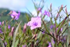 Le plan rapproché des fleurs violettes avec la nature a brouillé le fond de Khao Kho Photo stock