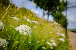 Le plan rapproché des herbes sauvages et fleurit l'élevage vu sur le côté d'un sentier piéton urbain dans l'été Image libre de droits