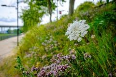 Le plan rapproché des herbes sauvages et fleurit l'élevage vu sur le côté d'un sentier piéton urbain dans l'été Images libres de droits
