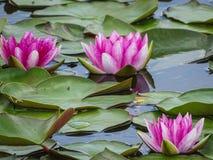 Le plan rapproché des lillys roses de l'eau au secteur de findlingspark nochten dedans Photos libres de droits