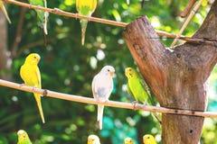 Le plan rapproché des perroquets ou de l'undulatus lumineux mignons de melopsittacus était perché sur une branche en bois photos libres de droits