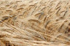 Le plan rapproché du blé jaune plante l'ondulation dans le vent au coucher du soleil Image stock