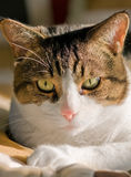 Le plan rapproché du chat Image stock