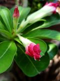 Le plan rapproché du désert rouge s'est levé des fleurs photographie stock libre de droits