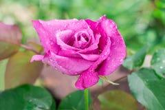 Le plan rapproché du jardin violet s'est levé avec des gouttelettes d'eau photos libres de droits