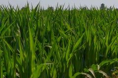 Le plan rapproché du maïs luxuriant vert de maïs laisse l'élevage en soleil Photographie stock