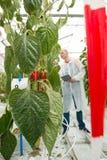 Le plan rapproché du paprika rouge part avec le scientifique travaillant dedans de retour photo stock