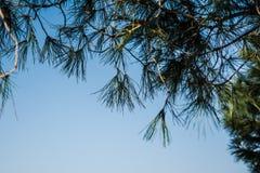 Le plan rapproché du pin s'embranche sur un fond de ciel bleu Photos libres de droits
