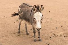 Le plan rapproché du plein corps a tiré de tenir le petit âne miniature regardant l'appareil-photo image libre de droits