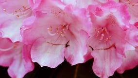 Le plan rapproché du rose fleurit l'azalée Photographie stock libre de droits