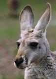 Le plan rapproché femelle de kangourou rouge (rufus de Macropus) Photo libre de droits