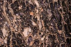 Le plan rapproché a fendu la peau du tronc de la texture d'arbre Photos stock