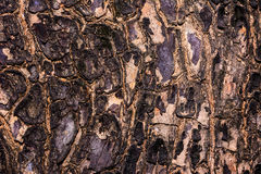 Le plan rapproché a fendu la peau du tronc de la texture d'arbre Photo stock