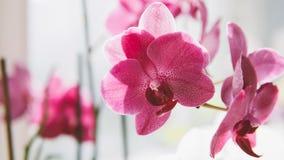 Le plan rapproché fleurit des orchidées Fleurs à la maison et entretenir eux Texture de film et foyer peu profond Image stock