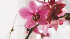 Le plan rapproché fleurit des orchidées Fleurs à la maison et entretenir eux Texture de film et foyer peu profond Photos libres de droits