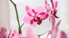 Le plan rapproché fleurit des orchidées Fleurs à la maison et entretenir eux Texture de film et foyer peu profond Photo stock