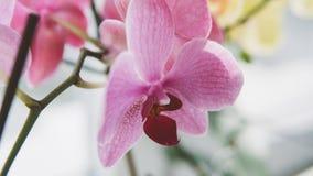 Le plan rapproché fleurit des orchidées Fleurs à la maison et entretenir eux Texture de film et foyer peu profond Photographie stock