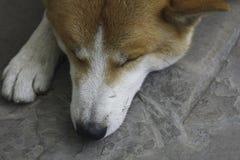 Le plan rapproché haed du jeune chien domestique d'inu d'akita Photos stock