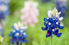 Le plan rapproché horizontal de la fleur de bluebonnet au-dessus du fond vert brouillé photos libres de droits