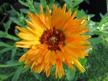 Le plan rapproché jaune-orange lumineux de fleur de Calendula avec le vert part du fond images libres de droits