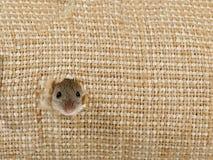 Le plan rapproché la tête de la souris de champ piaule du trou dans le sac de toile Photos stock