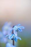 Le plan rapproché mou de foyer du ressort bleu pourpre minuscule fleurit avec le fond brouillé Image libre de droits