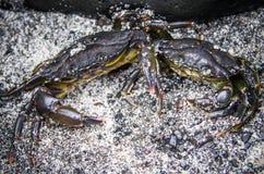 Le plan rapproché a mué crabe vivant noir dans le sable Photographie stock libre de droits