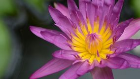 Le plan rapproch? pourpre de lotus de belle fleur image stock