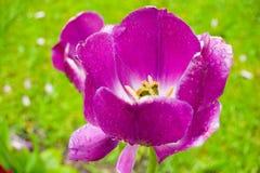 Le plan rapproché pourpre de tulipe avec de l'eau se laisse tomber sur des pétales Photographie stock