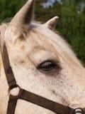Le plan rapproché principal de cheval image stock