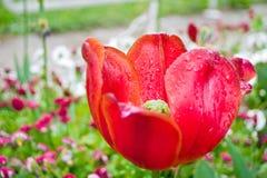 Le plan rapproché rouge de tulipe avec de l'eau se laisse tomber sur des pétales Image stock