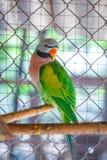 Le plan rapproché sur des perroquets verdissent chez un animal de détail de cage photos libres de droits