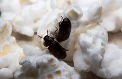 Le plan rapproché a tiré d'un scarabée de fumier de forêt noire Photo libre de droits