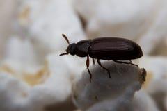 Le plan rapproché a tiré d'un scarabée de fumier de forêt noire Images libres de droits