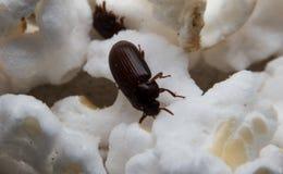 Le plan rapproché a tiré d'un scarabée de fumier de forêt noire Image stock