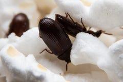 Le plan rapproché a tiré d'un scarabée de fumier de forêt noire Images stock