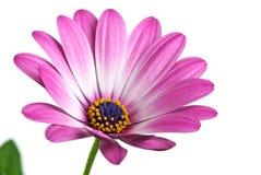 Le plan rapproché a tiré de la fleur rose d'arctotis Photos libres de droits