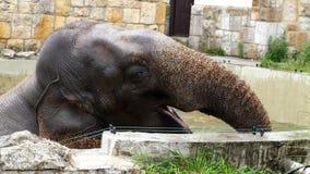 Le plan rapproché, un éléphant se baigne dans une piscine spéciale au zoo l'éléphant a soulevé la haute de tronc clips vidéos