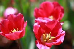 Le plan rapproch?, fleur rouge de tulipe avec de petits insectes fleurissent dans le jardin tellement tr?s beau photos stock