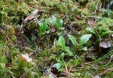 Le plantain de serpent à sonnettes nain, repens de Goodyera plante l'élevage parmi la mousse Image libre de droits