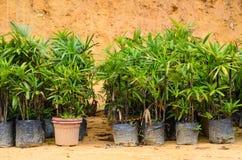 Le plantule in vasi sono pronte ad essere posti nella terra Fotografia Stock