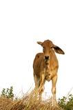 Le pli d'oreille de bétail Images libres de droits